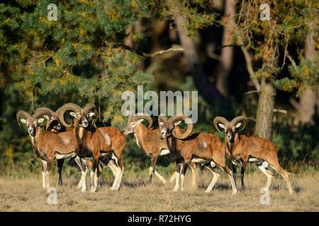 Mufflons, maennlich, Nationalpark Hoge Veluwe, Provinz Gelderland, Niederlande, (Ovis ammon) - Stock Photo
