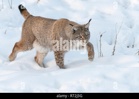 European Lynx, (Felis lynx) - Stock Photo