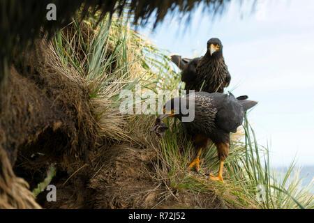 Sealion Island, Falkland Islands, United Kingdom, striated caracaras, pair at nest, (Phalcoboenus australis) - Stock Photo