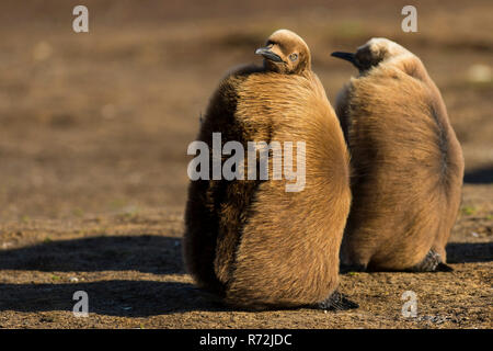 Volunteers Point, Falkland Islands, United Kingdom, South King penguin, young birds, (Aptenodytes patagonicus) - Stock Photo