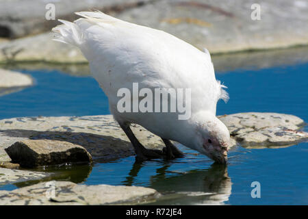 Saunders Island, Falkland Islands, United Kingdom, Snowy sheathbill, (Chionis alba) - Stock Photo