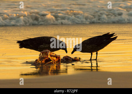 Volunteers Point, Falkland Islands, United Kingdom, subantarctic skuas, (Stercorarius antarcticus) - Stock Photo