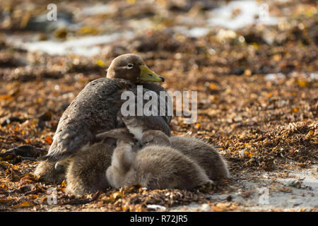 Sealion Island, Falkland Islands, United Kingdom, Falkland Flightless Steamer Duck with ducklings, (Tachyeres brachypterus) - Stock Photo