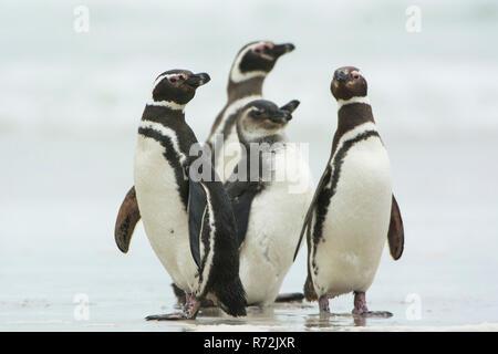 Pebble Island, Falkland Islands, United Kingdom, Magellanic penguins, (Spheniscus magellanicus) - Stock Photo