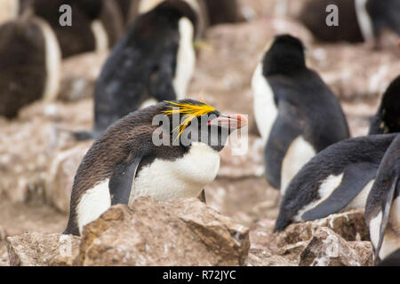 Saunders Island, Falkland Islands, United Kingdom, Macaroni penguin, (Eudyptes chrysolophus) - Stock Photo