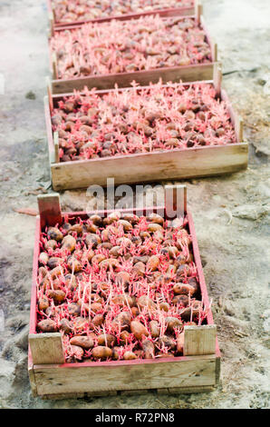 Seed potatoes with sprouts after processing from the Colorado beetle. Preparation for planting potatoes. seasonal work in the field, vegetables, agric - Stock Photo