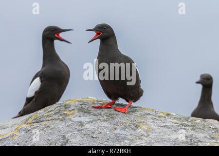 Black guillemots, GB, Shetlands, (Cepphus grylle) - Stock Photo