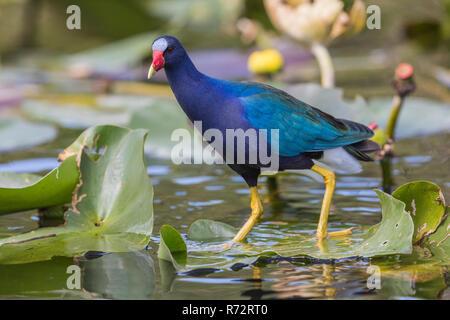 Purple gallinule, Florida, Everglades, (Porphyrio martinicus) - Stock Photo