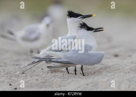 Sandwich tern, USA, Florida, (Thalasseus sandvicensis) - Stock Photo