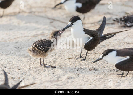 Sooty tern, Bird Island, Seychelles, (Onychoprion fuscatus) - Stock Photo