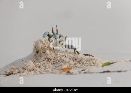 Horn eyed ghost crab, Bird island, Seychelles, (Ocypode ceratophthalmus)
