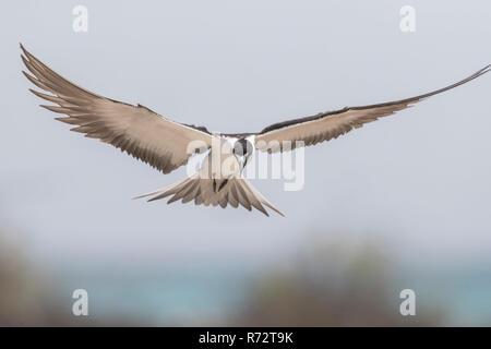 Sooty tern, Bird Island, Seychelles, (Onychoprion fuscatus) - Stock Photo