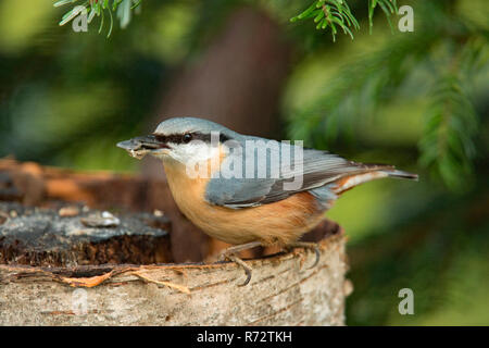 eurasian nuthatch, (Sitta europaea) - Stock Photo