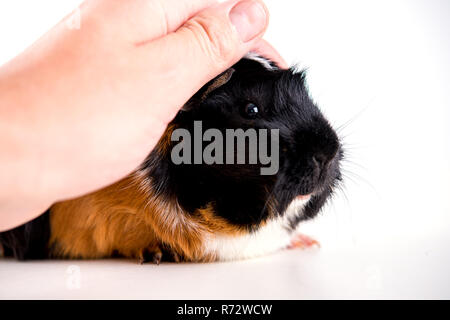 black,white and red guinea pig - Stock Photo