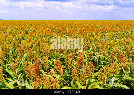 Sorghum, common name for maize-like grasses native to Africa and Asia, where they have been cultivated since ancient times. The sorghum plants fields  - Stock Photo