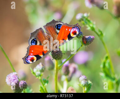 Closeup of a Peacock butterfly Inachis io feeding on purple vegetation and purple thistle flowers. Top view, detail on open wings natural light - Stock Photo