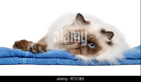 Cute groomed young persian seal colourpoint cat after bath lies on a blue towel - isolated on white background - Stock Photo