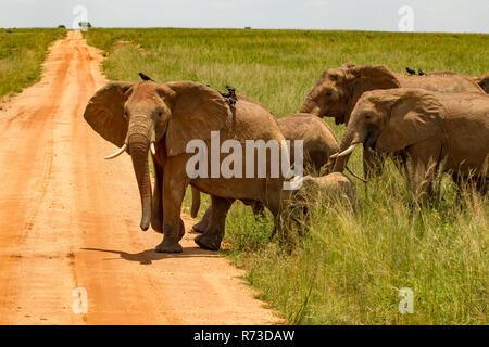 Elephants (Loxodonta africana) crossing dirt track, Murchison Falls National Park, Uganda - Stock Photo