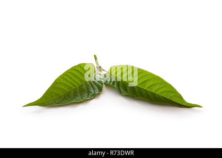 Kratom leaves. - Stock Photo
