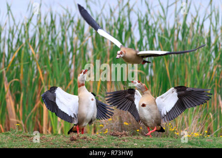 Egyptian Goose, pair, Rondevlei Nature Reserve, Western Cape, South Africa, Africa (Alopochen aegyptiaca) - Stock Photo
