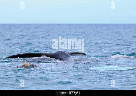southern right whale, tail fin, Pacific Ocean, Plettenberg Bay, Western Cape, South Africa, Africa (Eubalaena australis) - Stock Photo