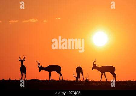 impalas, males, Kariega Game Reserve, Western Cape, South Africa, Africa (Aepyceros melampus) - Stock Photo
