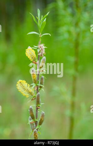male inflorescence, willow, (Salix spec.), short rotation coppice, Schwedt, Brandenburg, Germany - Stock Photo