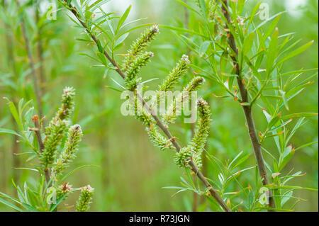 female inflorescence, willow, (Salix spec.), short rotation coppice, Schwedt, Brandenburg, Germany - Stock Photo