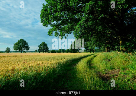 dirt road, oak trees, (Quercus robur), barley, Lower Lusatia, Breitenau, Brandenburg, Germany - Stock Photo