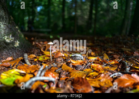 Beautiful autumn light on a single white fungus. Colorful beech leaves in autumn forest form a contrast with this mushroom - Stock Photo