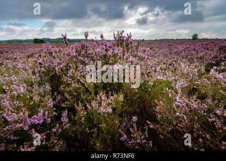 Blooming of beautiful heather flowers, natural seasonal floral background on Dutch Veluwe, renderklippe Heerde, Epe - Stock Photo