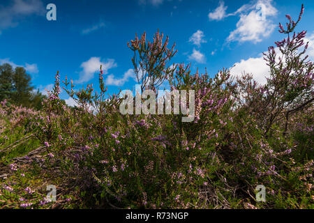 Blooming heath plant and a dead piece of birch tree with white bark. Well-lit in the sunlight with wide views over heathlands and splendid white cloud - Stock Photo