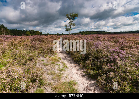 Sandpath in a pine forest with a lone birch tree. Nature landscape in the Netherlands with beautiful flowering heath full of purple flowers. Impressiv - Stock Photo