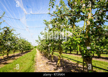 An apple orchard which rows of flowering trees are protected against birds and hail by a thin white net stretched above, in the french countryside. - Stock Photo