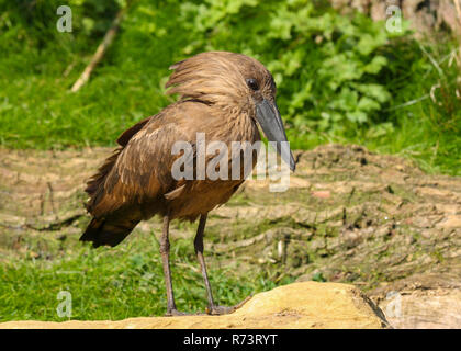 Hamerkop or Hammerhead stork (Scopus umbretta) resting in grass by a pond at Cotswold wildlife park, England, UK - Stock Photo