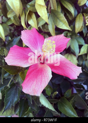 Pink hibiscus flower. - Stock Photo