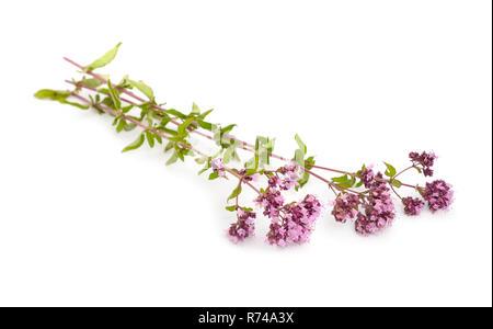 Oregano flowers isolated - Stock Photo