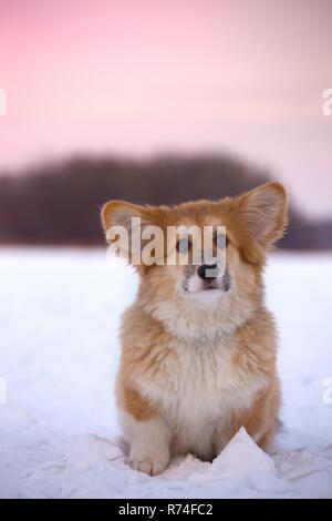 little cute corgi fluffy puppy at the outdoor close up portrait in winter day in sunset time