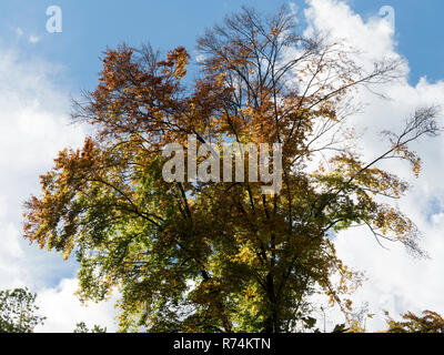 Treetop of an autumn tree with colorful leaves in front of the cloudy sky - Stock Photo