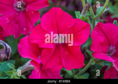 Blossoming Mallow in a garden - Stock Photo