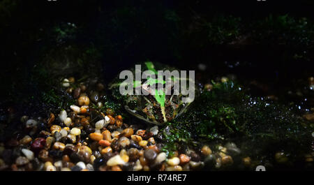 green horned frog / The chachoan horned frog hide on rocks gravel in cavity - argentine horned frog - Stock Photo