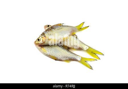 small fish isolated / siamese mud carp fish isolated on white - yellow tail fish - Stock Photo