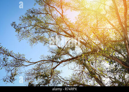 sunray on big tree / The sun shining through on tree branch on blue sky background - down to the treetop look under tree - Stock Photo
