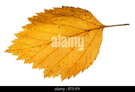 yellow fallen leaf of hawthorn tree isolated - Stock Photo