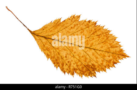 rotten dried leaf of hawthorn tree isolated - Stock Photo