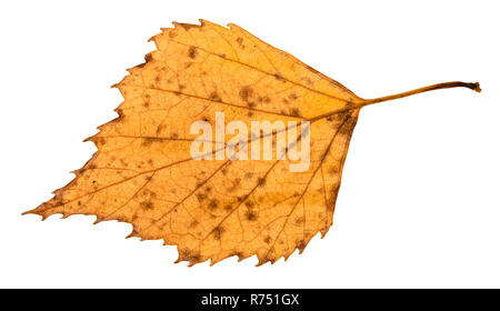 back side of fallen rotten yellow leaf of birch - Stock Photo