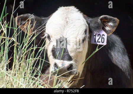 A tagged cow eating grass isolated in black. - Stock Photo