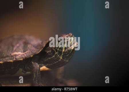 Tortoise close up. Baby box tortoise moving slowly on the ground. Close up view of a reptile. Medium shot of a tortoise. - Stock Photo