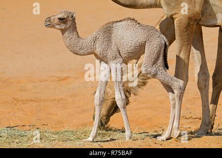 Newborn camel calf - Stock Photo