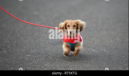 Brighton, Sussex, UK. 08th December 2018. Biscuit the dog has trouble with his ears in the wind as he takes part in the annual Brighton Santa Dash along the seafront at Hove raising money for the local Rockinghorse charity . Rockinghorse is a Brighton-based charity that has been supporting children in Sussex for over 50 years. Credit: Simon Dack/Alamy Live News - Stock Photo